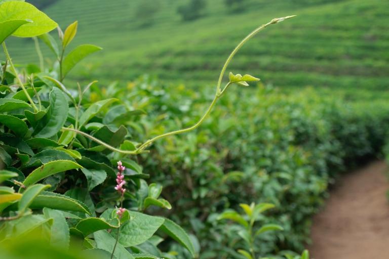 Boseong Tea Fields South Korea